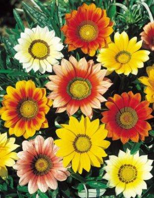 gazania plante annuelle eschscholzia110