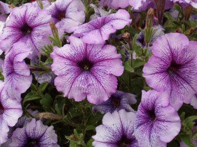 P tunia plante annuelle eschscholzia110 - Fleurs d ete plein soleil ...